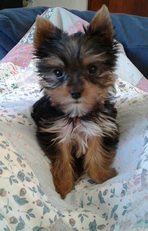 mini yorkie rescue sa yorkie rescue terriers for adoption