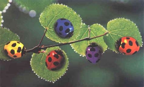 what color is a ladybug pink ladybugs that are real photo of colorful ladybugs