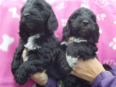 black cockapoo puppies stunning black cockapoo puppies llanelli carmarthenshire pets4homes