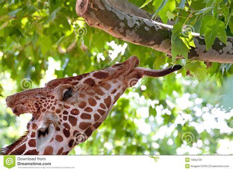 imagenes de jirafas comiendo hojas giraf die groene bladeren op de boom eet stock afbeelding