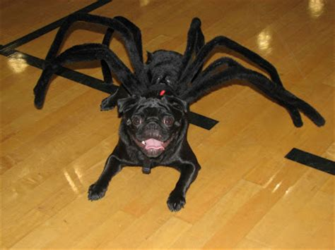 spider pug costume spider pug pictures to pin on pinsdaddy