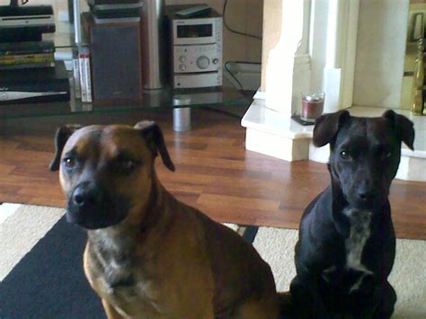 The Patterdale Terrier the patterdale terrier of modern day times refers for the