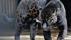 Jaguars Moving To La Rise Of The Black Jaguar Clan Silent Watchers From The