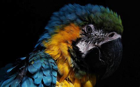 hd parrot face wallpaper hd wallpapers