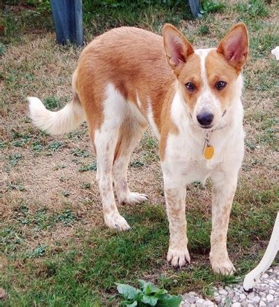 corgi mix dogs corgi cattle breed information and pictures