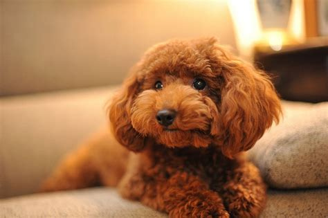 brown poodle puppy brown poodle