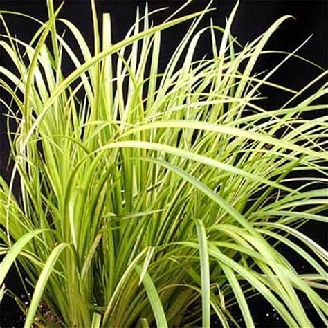 Shade Plants For Window Boxes - acorus quot gold quot
