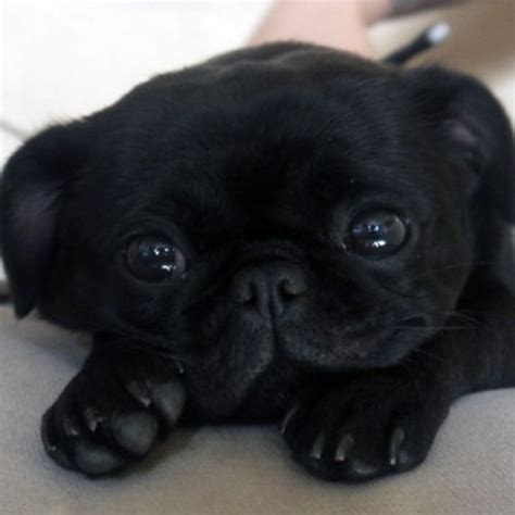 photos of black pugs 25 best ideas about black pug puppies on pug puppies black pug puppy and