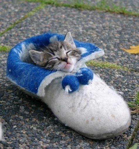 kittens shoes kitten in a shoe teh