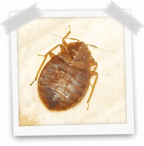 bed bugs treatment karachi bed bugs fumigation  karachi