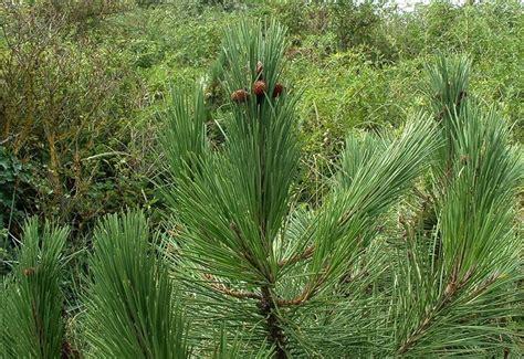 pino nano in vaso pino marittimo domande e risposte giardino pino