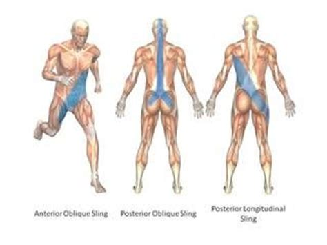 cadenas musculares thomas myers pdf posterior sling google search hip repair recovery