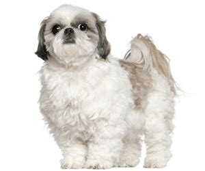 shih tzu tips advice pet grooming products tips wahlpets care for my shih tzu