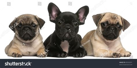 difference between pug and bulldog pug puppy and bulldog puppy 8 weeks in front of white breeds picture