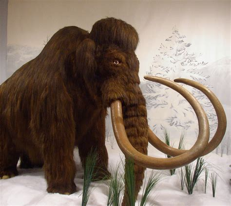 wooly mammoth ice age la naturalista musings about the natural world