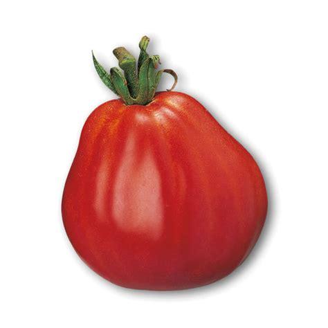 pomodori cuore di bue in vaso pomodoro cuore di bue sel albenga ricante piante