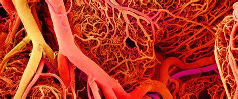 i vasi sanguigni come ringiovanire i vasi sanguigni