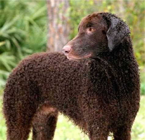 Curly Coated Retriever - Dog Breed Information and Images ...