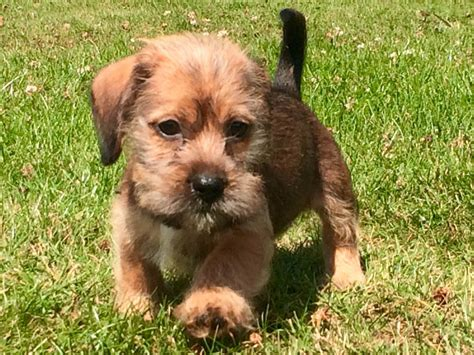 shih tzu and dachshund dachshund shih tzu cross 3 left and 2 boys horsham west sussex pets4homes