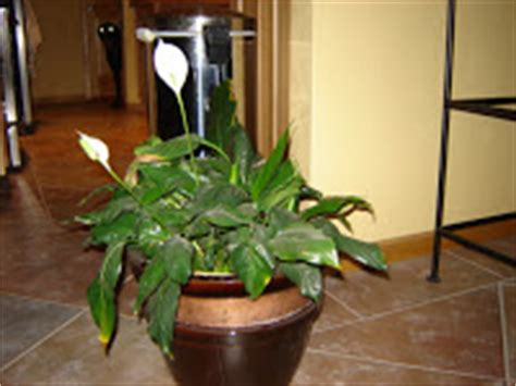 Closet Plant Care peace care houseplant care tips