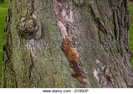 maple tree bark trunk detail background macro up bark stock photo royalty free image