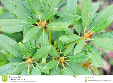 rhododendron leaves and flower buds royalty free stock photography image 20715427