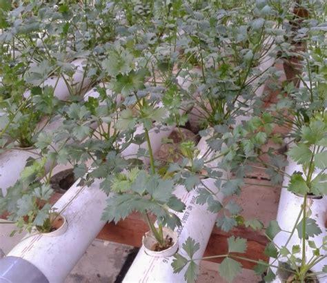 Bibit Seledri Dataran Rendah cara menanam daun seledri hidroponik bibitbunga
