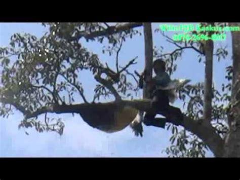 Madu Odeng Dan Lebah Hutan cara memindahkan koloni lebah liar funnycat tv