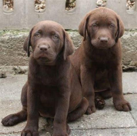 Labrador Chocolate Suchen Ein Zu Hause