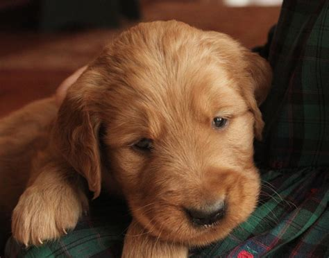 golden retriever breeders in central pa golden retriever puppies for sale breeds picture