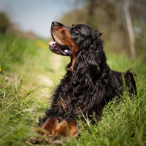 gordon setter dog names 80 best gordon setters community images on pinterest