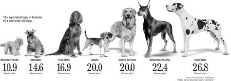 lifespan of dogs 191 sab 237 as que la proporci 243 n de edad entre humanos y perros 1 igual a 7 a 241 os es