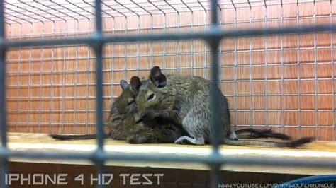 Pets At Home Small Animals Pets At Home Degu