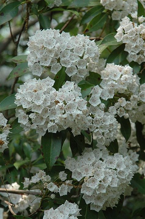 where to buy l shades in raleigh nc 25 best ideas about kalmia latifolia on