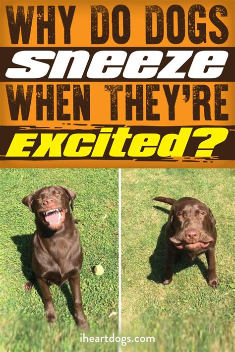 sneezes when excited 377 best images about labs for maggie zeena on
