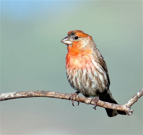 male house finch at rancho santa fe san diego county 8