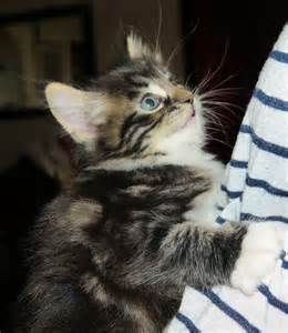 Beautiful maine coon kittens for sale glasgow lanarkshire