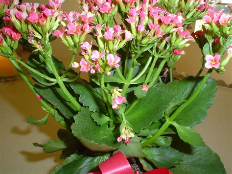 plants blooming pink blooming succulent is a kalanchoe