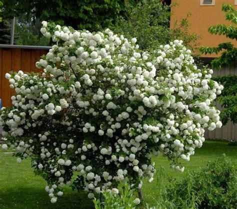 palla di neve fiore viburnum opulus piante da giardino come coltivare il