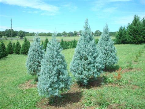 blue ice juniper 171 the christmas tree patch