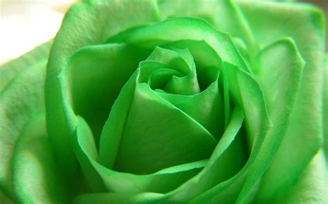 wallpaper of green rose green rose wallpapers wallpaper cave