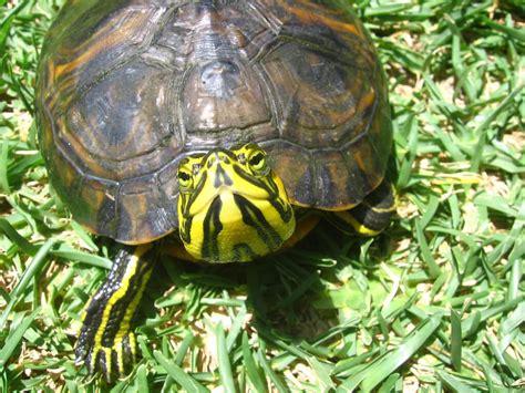 alimentazione tartaruga tartarughe acquatiche