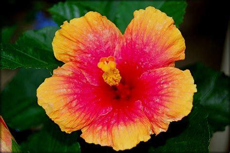 which state has a hibiscus hibiscus flower hawaiian hibiscus flowers pink flowers