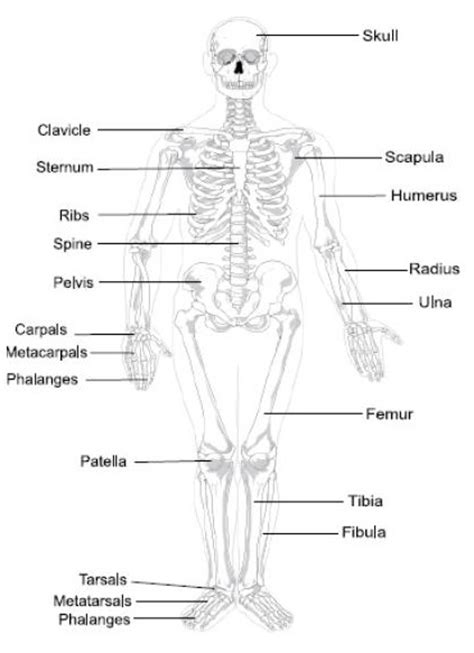detailed skeletal system diagram labeled bones diagram labeled free engine image for user