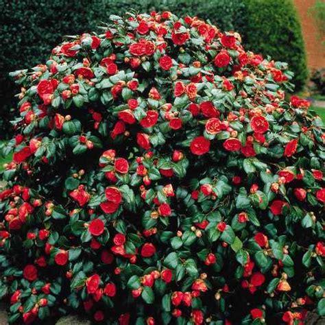 shrubs that flower all year savvy housekeeping 187 four flowering shrubs