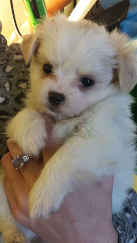 puppies for sale in birmingham maltese mix puppies for sale birmingham west midlands pets4homes