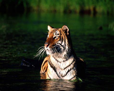 imagenes tumblr de tigres imagenes de tigres para fondos de pantalla im 225 genes