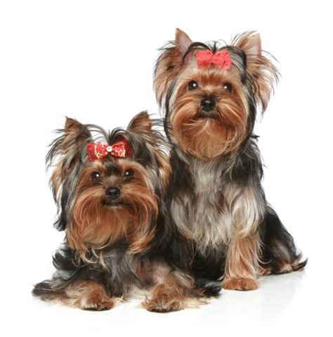 are yorkies with yorkies tlc puppy