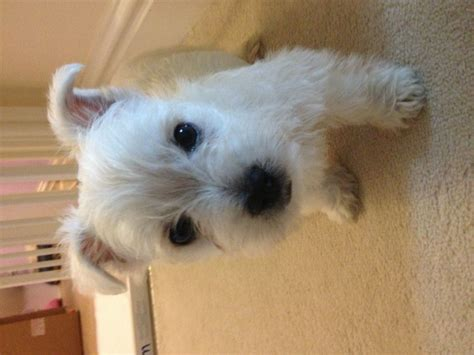 8 week puppy gorgeous westie boy 8 week puppy tadley hshire pets4homes