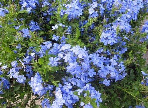 evergreen shrub blue flowers 17 best ideas about blue flowering shrubs on